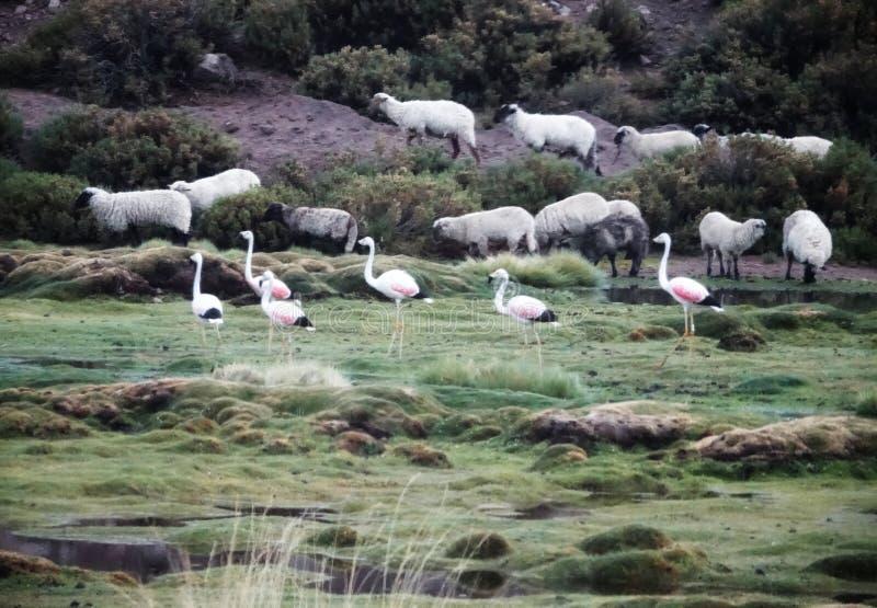 Сезон фламинго в Uyuni, Боливии стоковое изображение rf