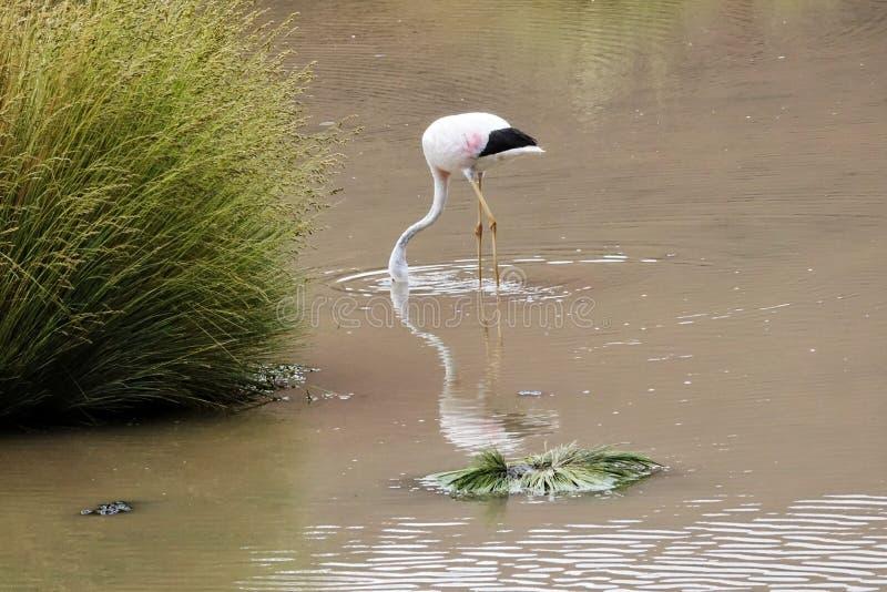 Сезон фламинго в Uyuni, Боливии стоковая фотография rf