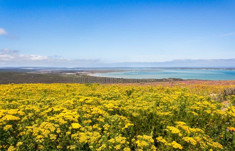 Сезон цветка с видом на океан в Южной Африке стоковая фотография rf