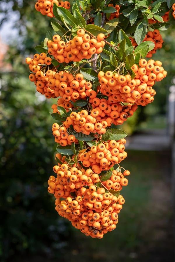 Сезон ягод coccinea Pyracantha Firethorn осенью стоковое фото rf