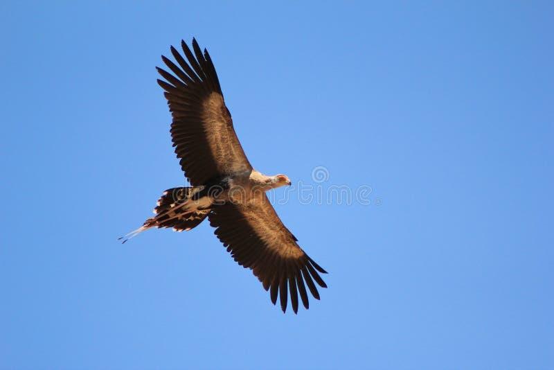 Секретарша птица - через большую синь стоковые изображения rf