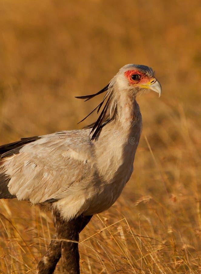 секретарша птицы стоковая фотография