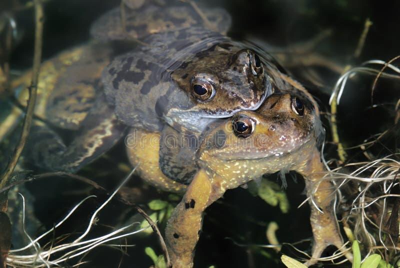 Секс жабы