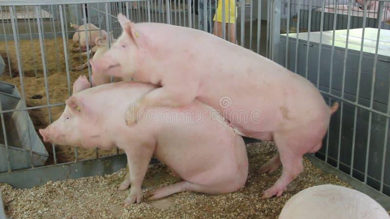 Смотреть секс со свиньей онлайн