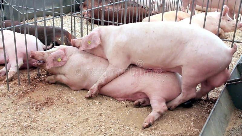 Видео ролики порно с свиньями