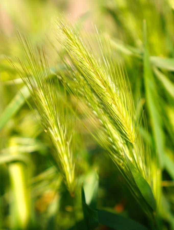 Селективный фокус ушей пшеницы стоковые фотографии rf