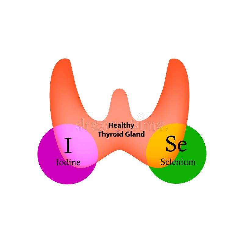 Селен и йод необходимы для нормальный действовать тироидной железы Инфографика также вектор иллюстрации притяжки corel иллюстрация вектора