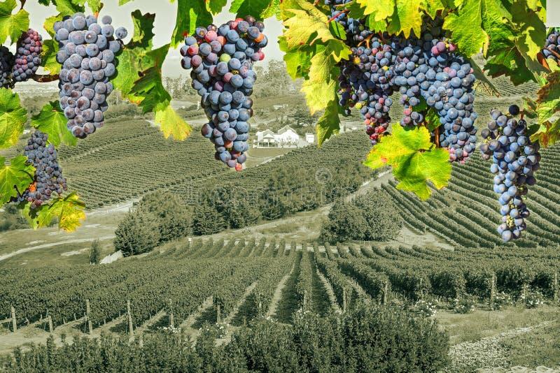 Сельская местность wineland виноградины стоковые фото