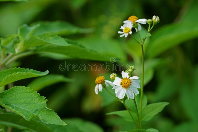 Сельские цветки зацветая в утре Pilosa Bidens стоковая фотография