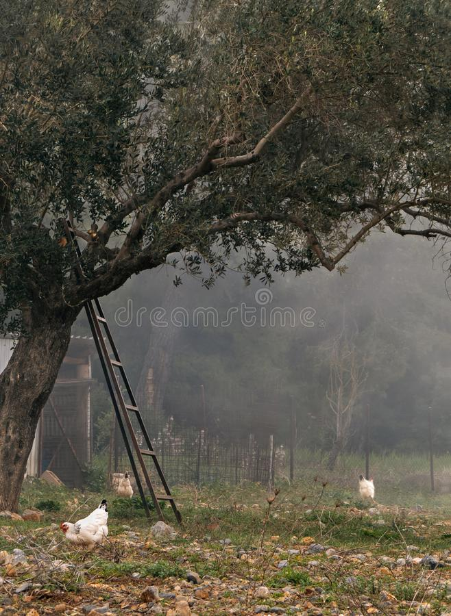 Сельский ландшафт с идя цыплятами, прованским садом и туманом на греческом острове стоковое фото