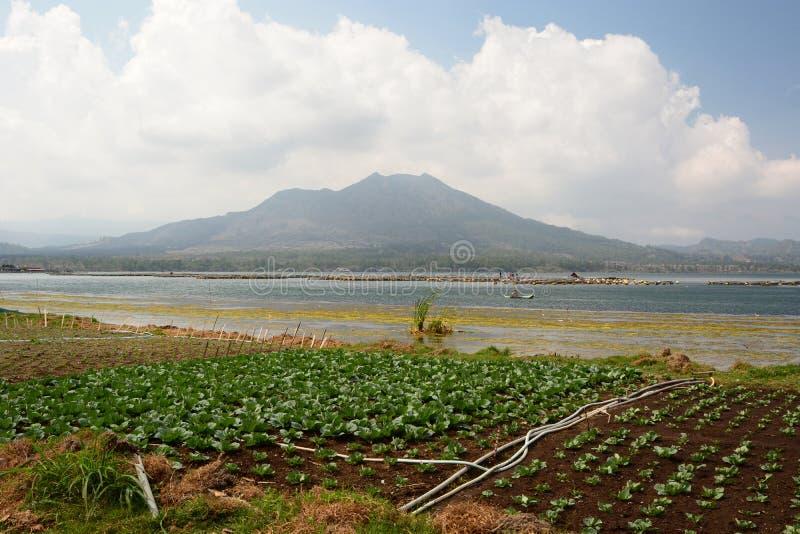 Сельское хозяйство на берегах Batur озера Kintamani тюкованный Индонезия стоковая фотография