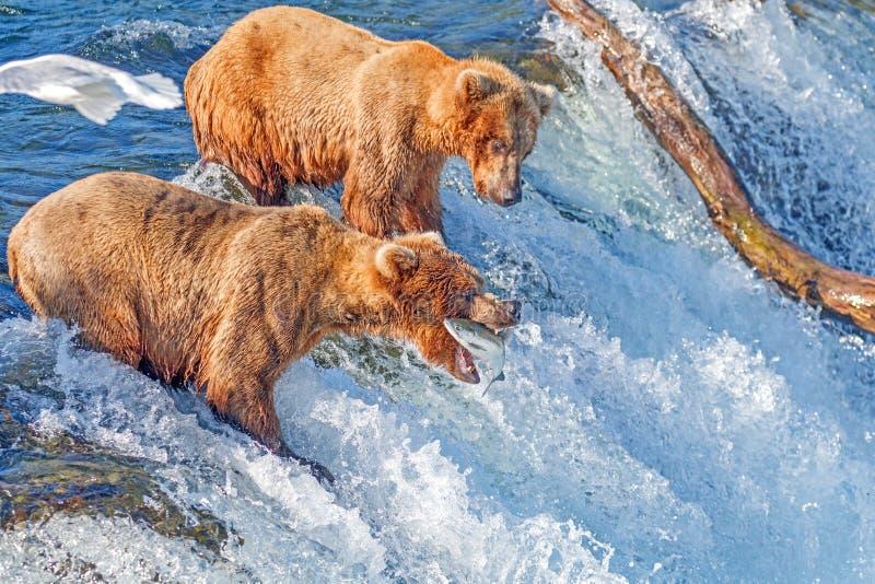 Семга бурого медведя улавливая скача в среднем воздухе на ручейках падает, национальный парк Katmai, Аляска стоковое фото