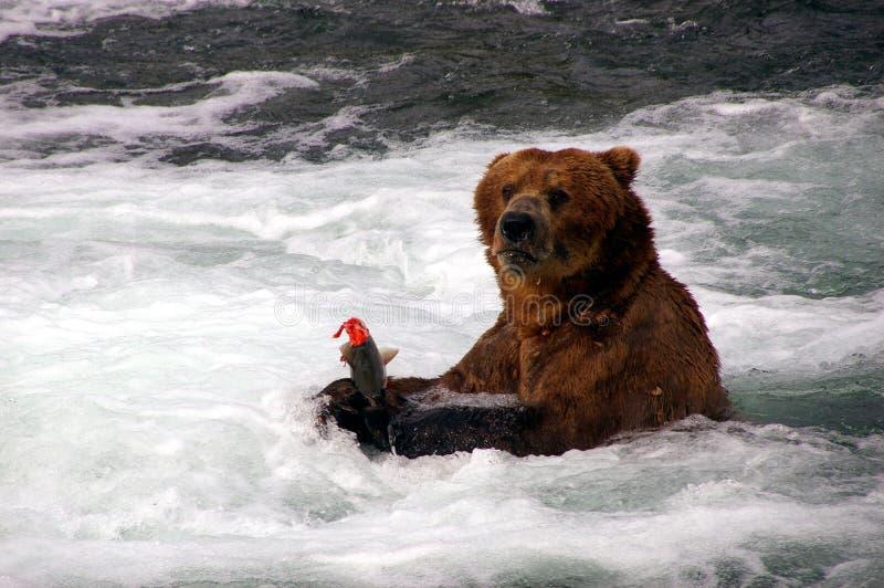 семги гризли медведя стоковая фотография rf