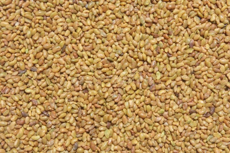 семена альфальфы органические стоковые фотографии rf