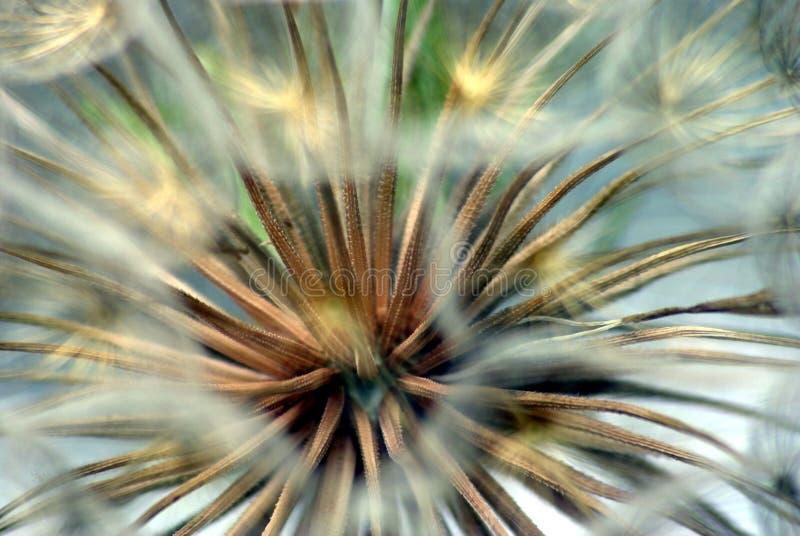 семена гиганта одуванчика стоковое фото