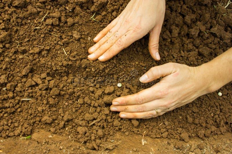 Семена заволакивания стоковое изображение