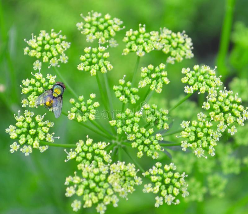 Семена кориандра, свежие зеленые листья cilantro на деревянной предпосылке стоковые фото