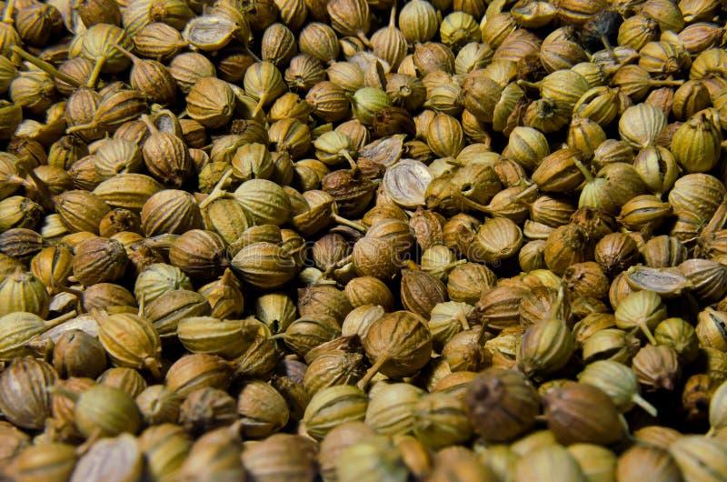 Семена кориандра стоковое изображение