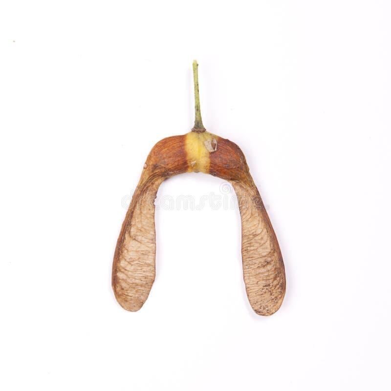 Семена клена стоковые изображения