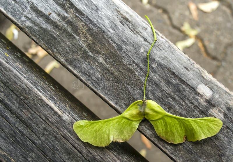 Семена клена стоковая фотография rf