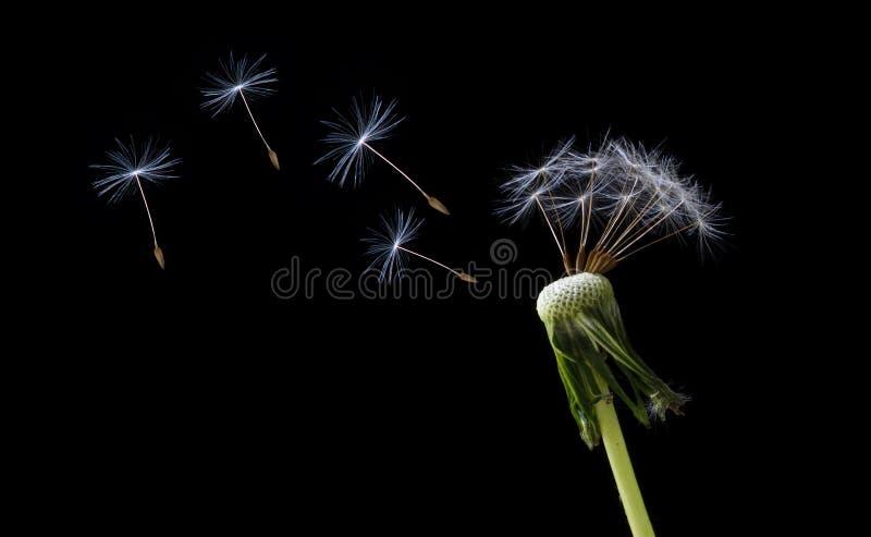 семена летания одуванчика стоковые изображения