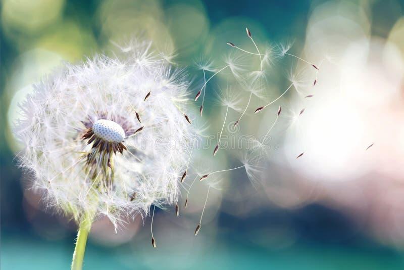 Семена одуванчика в солнечном свете дуя прочь через свежую зеленую предпосылку утра стоковые фотографии rf