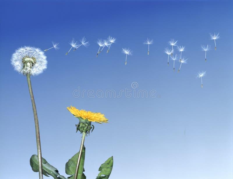 семена одуванчика разметывая стоковая фотография