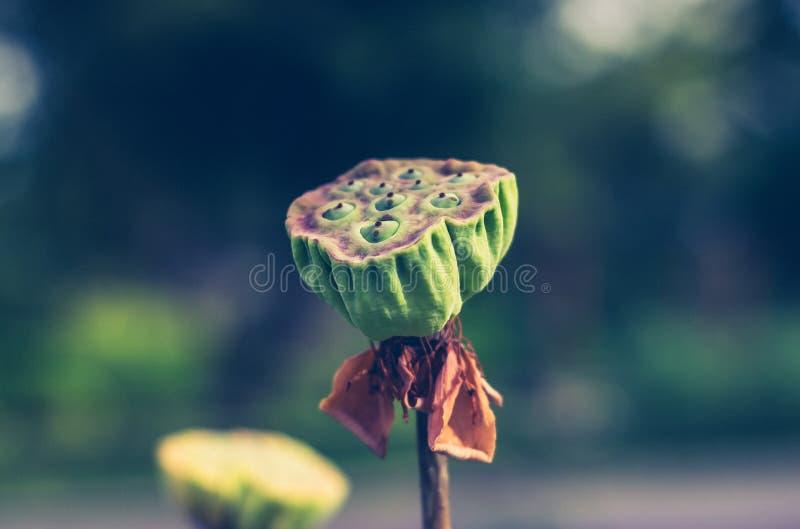 Семена лотоса стоковые изображения