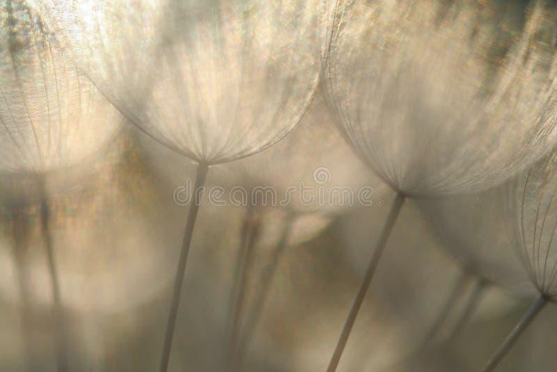 Семена одуванчика в абстрактной детали макроса стоковые изображения