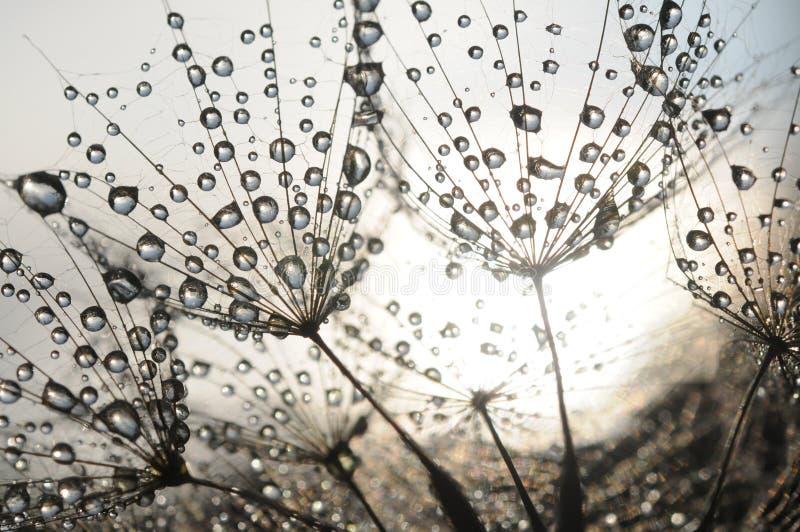 Семена одуванчика стоковые изображения