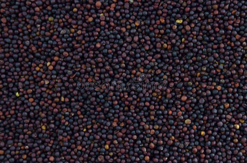 Семена рапса зимы стоковые фото