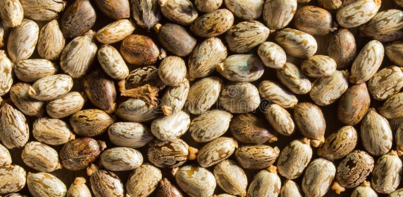 Семена рицинуса стоковое изображение rf