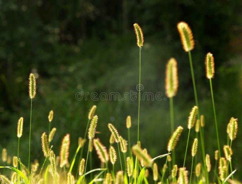семена травы стоковое изображение rf