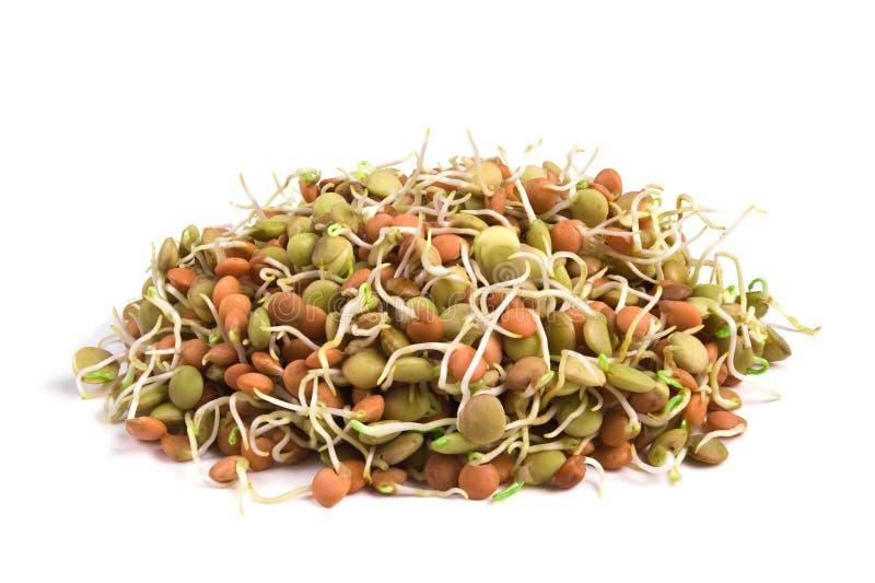 семена чечевицы стоковые фотографии rf