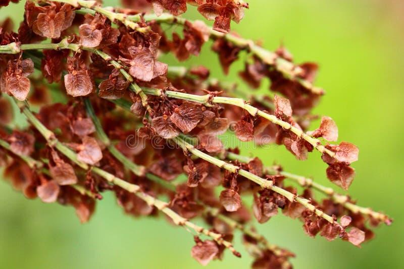 Семена щавеля стоковая фотография