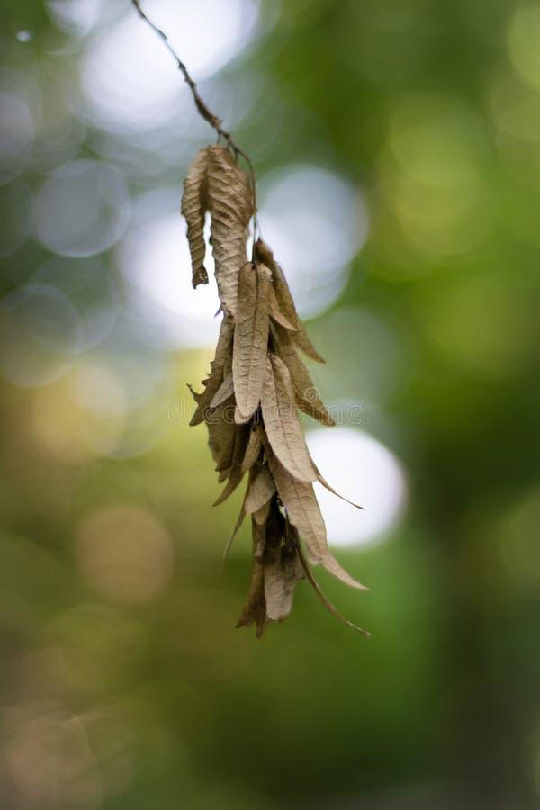 Семена acer, семена клена стоковое фото rf