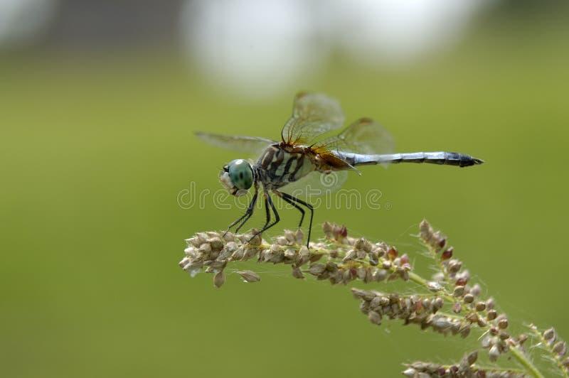 семена dragonfly стоковые изображения rf