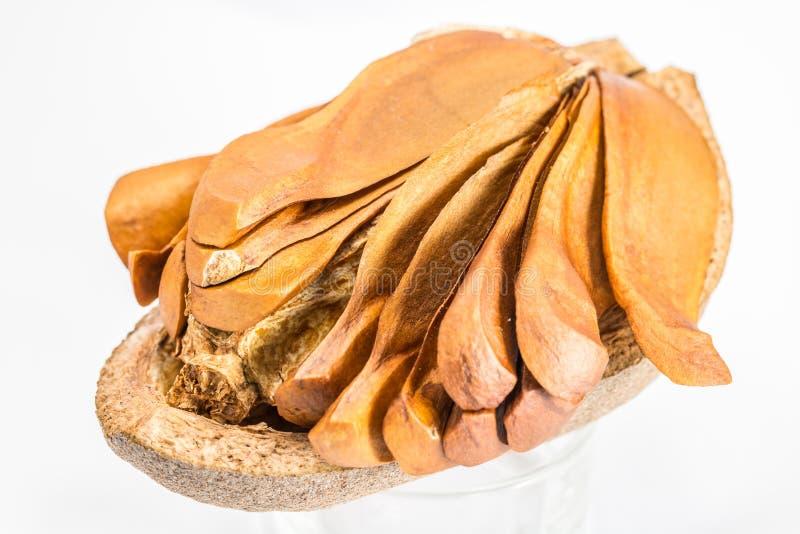 Семена Mahogany стоковые изображения rf