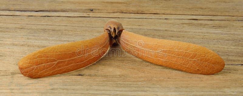 Семена Roxb alatus Dipterocarpus на деревянной предпосылке стоковые изображения
