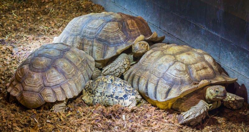 Семья африканца пришпорила черепах кладя вместе с 1 юношей, больших черепах земли от Африки стоковые изображения