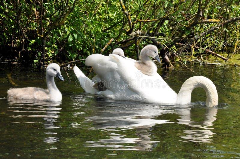 Семья безгласного лебедя стоковые фото