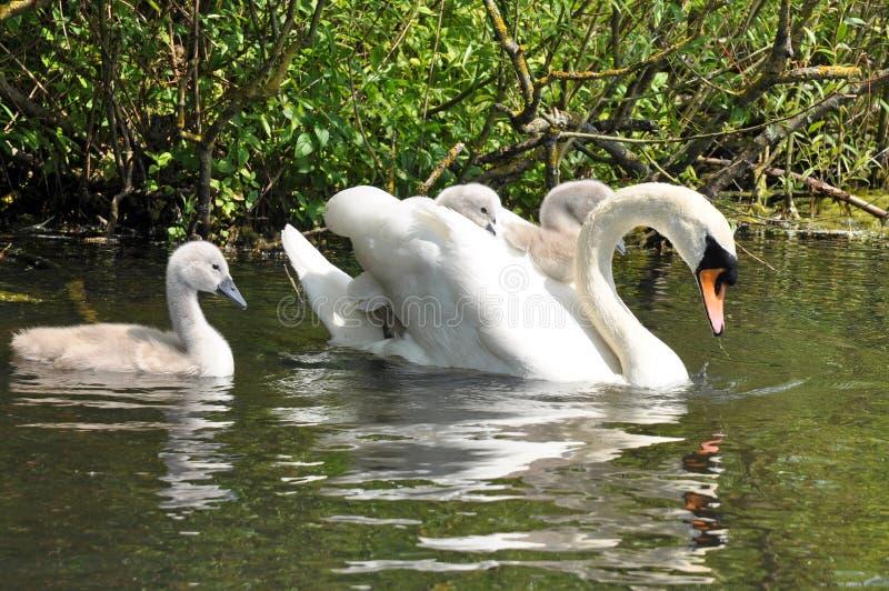 Семья безгласного лебедя стоковое фото rf