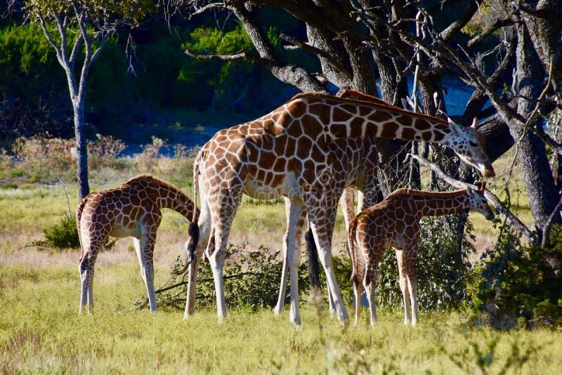 Семья, взрослые и детеныши посола жирафа: Camelopardalis Giraffa стоковое изображение
