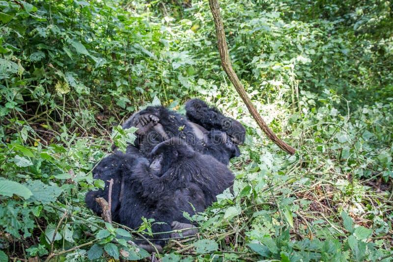 Семья горилл горы в кусте стоковая фотография