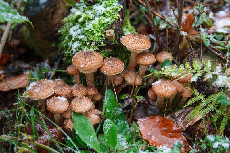 Download Семья грибков в снеге Lesupod первом Стоковое Изображение - изображение насчитывающей грибки, вакханические: 81802267