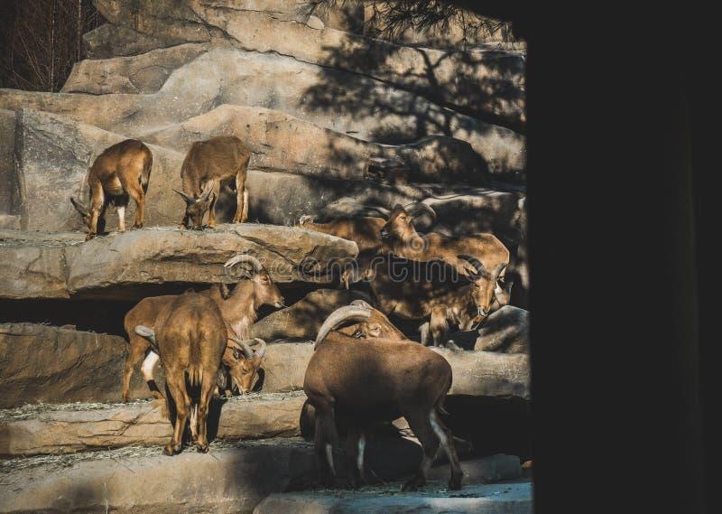 Семья диких коз в диком на солнечный день стоковая фотография rf