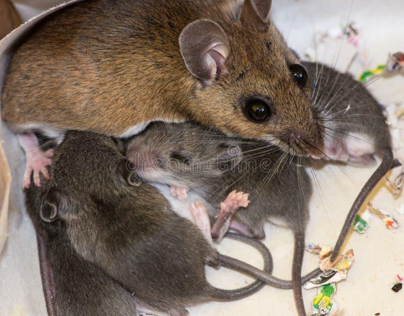 Семья домовых мышей стоковые изображения rf