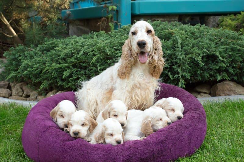 Семья лежа английского щенка Spaniel кокерспаниеля стоковое изображение