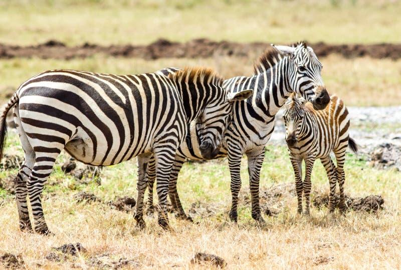 Семья зебры стоковые изображения rf