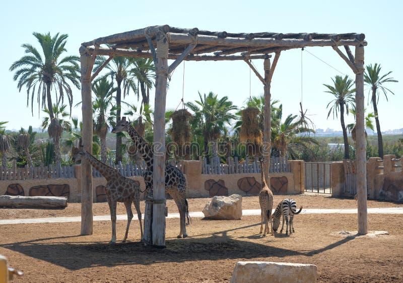 Семья и зебра жирафа в парке сафари стоковые изображения rf